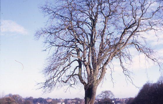 Some older trees in Harpenden