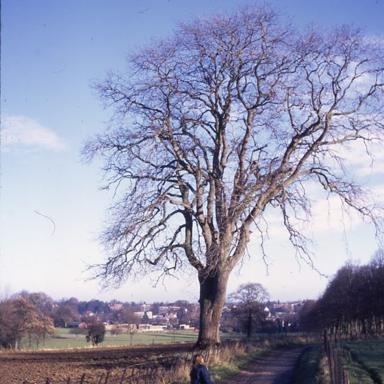 Ash tree - Coach Lane, Rothamsted Farm 3/12/1972, with view across Rothamsted Park and the swimming pool in the distance   Cat no LHS 0013