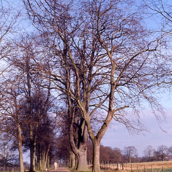 Avenue of limes - Rothamsted Estate - 5/12/1974   Cat no LHS 0014
