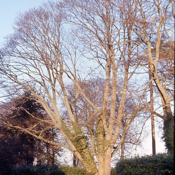 Sycamore in Rothamsted Park - 19/1/1974   Cat no LHS 0015