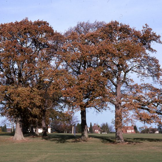 Oak trees in Rothamsted Park - 23/11/78   Cat no LHS 0016