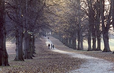 The Lime Avenue, planted in 1880, 100 years later in autumn 1981 | LHS slide collection
