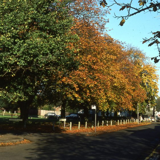 Maples on Leyton Green - Nov 1977.  The elm tree on the left was patched up with concrete!   Cat no LHS 0027