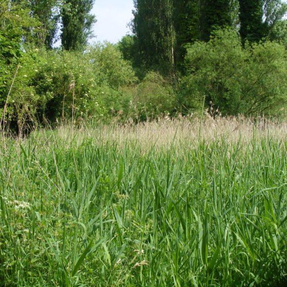 Batford Springs - Reed bed   Ian Denholm