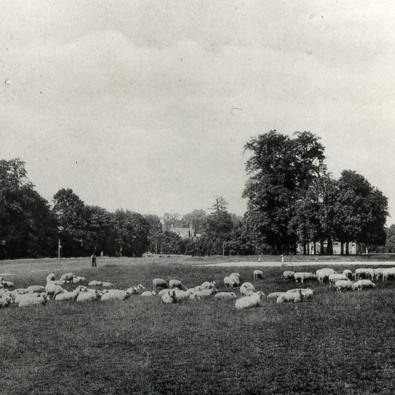 Sheep on the Common -1920's | Cat no Slides B 1.72