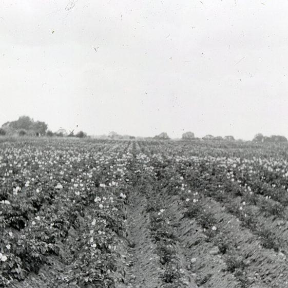 Potato crop on the Common - 1943 | Cat no Slides B 3.33