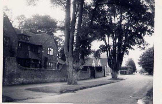 Elm trees in Harpenden