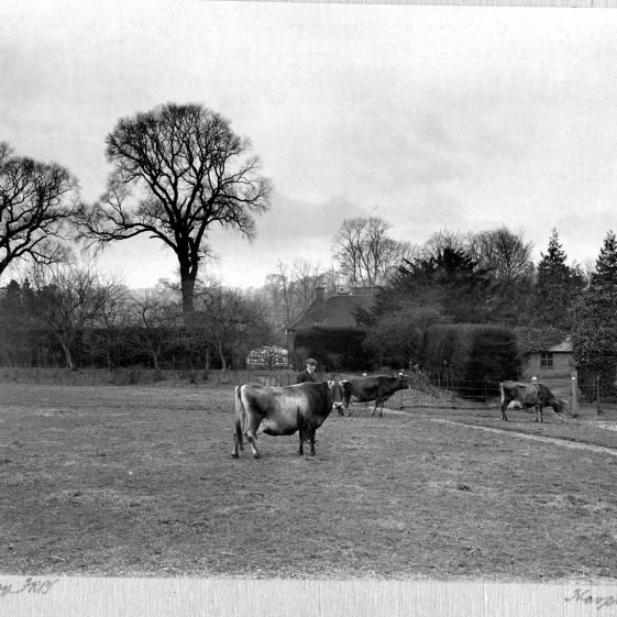 16 Welcombe - cattle grazing, probably on fields beyond the gardens, towards Crabtree Lane   LHS archives - Thurston Album 15