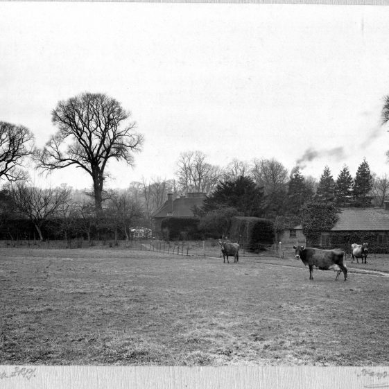 17 Welcombe - cattle grazing. It is not known if there were further buildings beyond the greenhouses near the house   LHS archives - Thurston Album 16